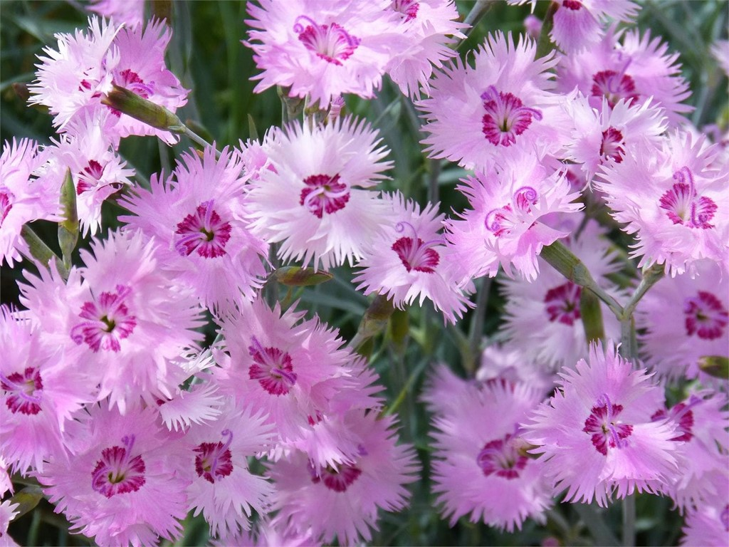Foto 1 Clavelina (Dianthus Chinensis)